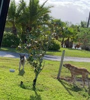 Jax, a wolf hybrid who escaped Tuesday, March 26, 2019, from Critter Haven animal sanctuary in Indian River County, was spotted off 62nd Court hanging out with some fenced-in dogs.