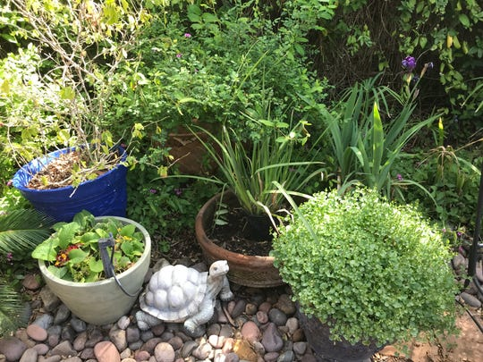 This garden on Piedmont includes native plants and adapted plants, most in pots.