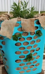 Finished product: A strawberry planter made with a laundry hamper and burlap fabric. Water thoroughly, place your new strawberry planter in full sun and wait. You will be having fresh strawberries before you know it!