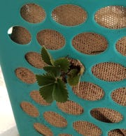 For a strawberry planter: Gently pull the plant through the burlap and hamper opening, exposing the plant to the outside and leaving the rootball inside.  Do this, using three or four plants around the hamper.