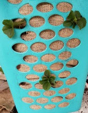 For strawberry planter: Add potting soil to cover your plant roots and raise the level of soil about three or four rows of the open weave on the hamper. At this level of soil and using more plants, repeat step 3