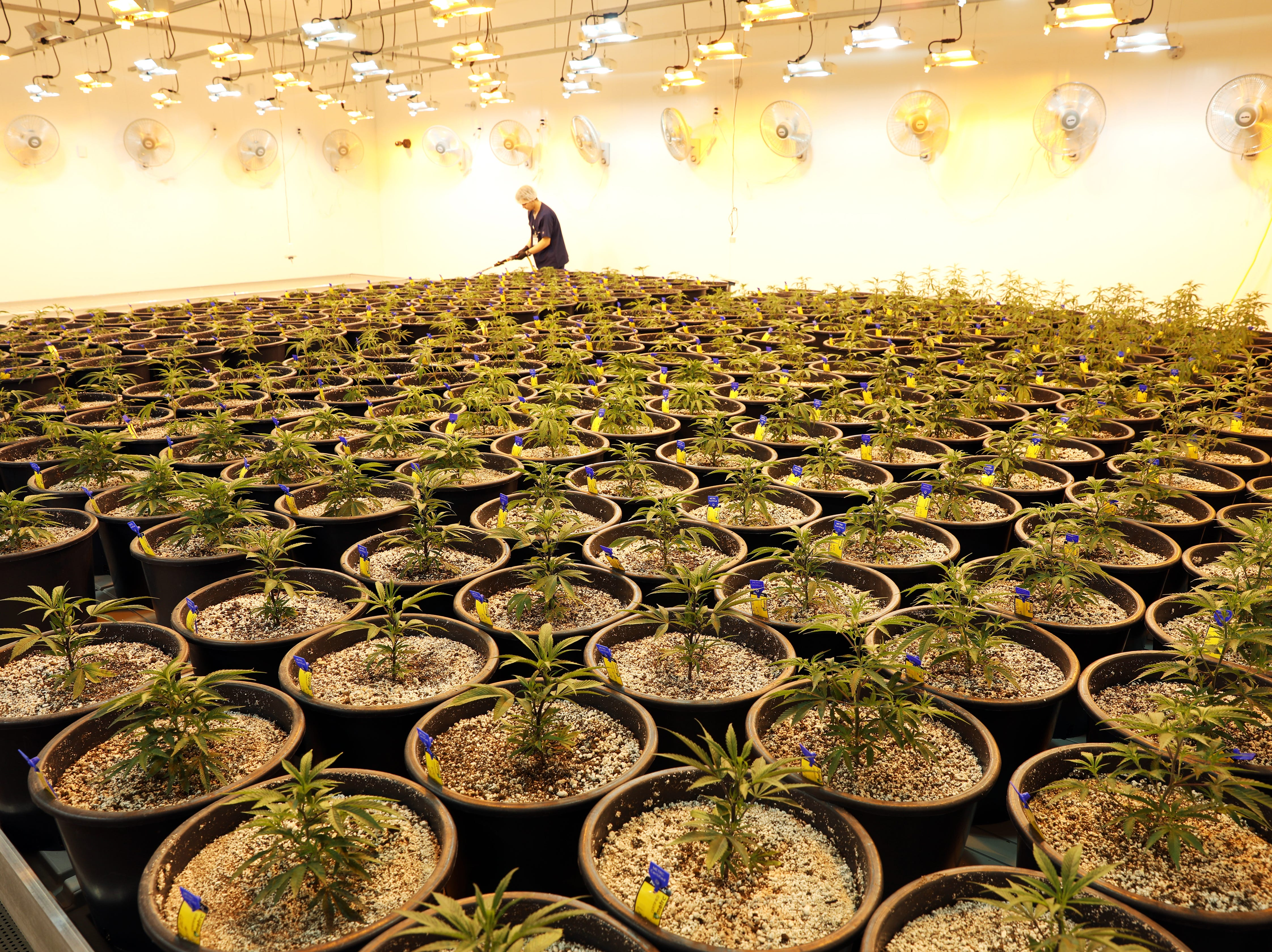 A worker waters young marijuana plants at Grow Ohio's facility near East Fultonham. The plants are grown under mixed lighting sources at this age, to get them ready for the grow lights used when they are older.