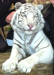 "Montecore, a 600-pound white bengal tiger poses after perfomring in the ""Siegfried and Roy'' show in this March 10, 2002 handout photo at the Mirage Hotel and Casino in Las Vegas. Roy Horn, of the ""Siegfried and Roy'' show was attacked by Montecore on Friday night, Oct. 3, 2003 during a sold-out performance. (AP Photo/Zuma Press, Jeff Klein)  ** MANDATORY CREDIT ZUMA PRESS/JEFF KLEIN** ORG XMIT: NVJK102"