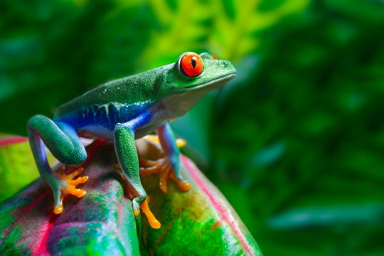 A fungus called Batrachochytrium dendrobatidis has pushed at least 501 amphibians towards extinction.