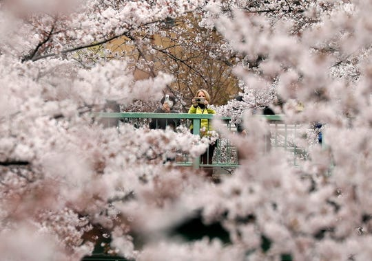 Visitors view cherry blossoms in almost full bloom in Tokyo, Japan on March 29, 2019.