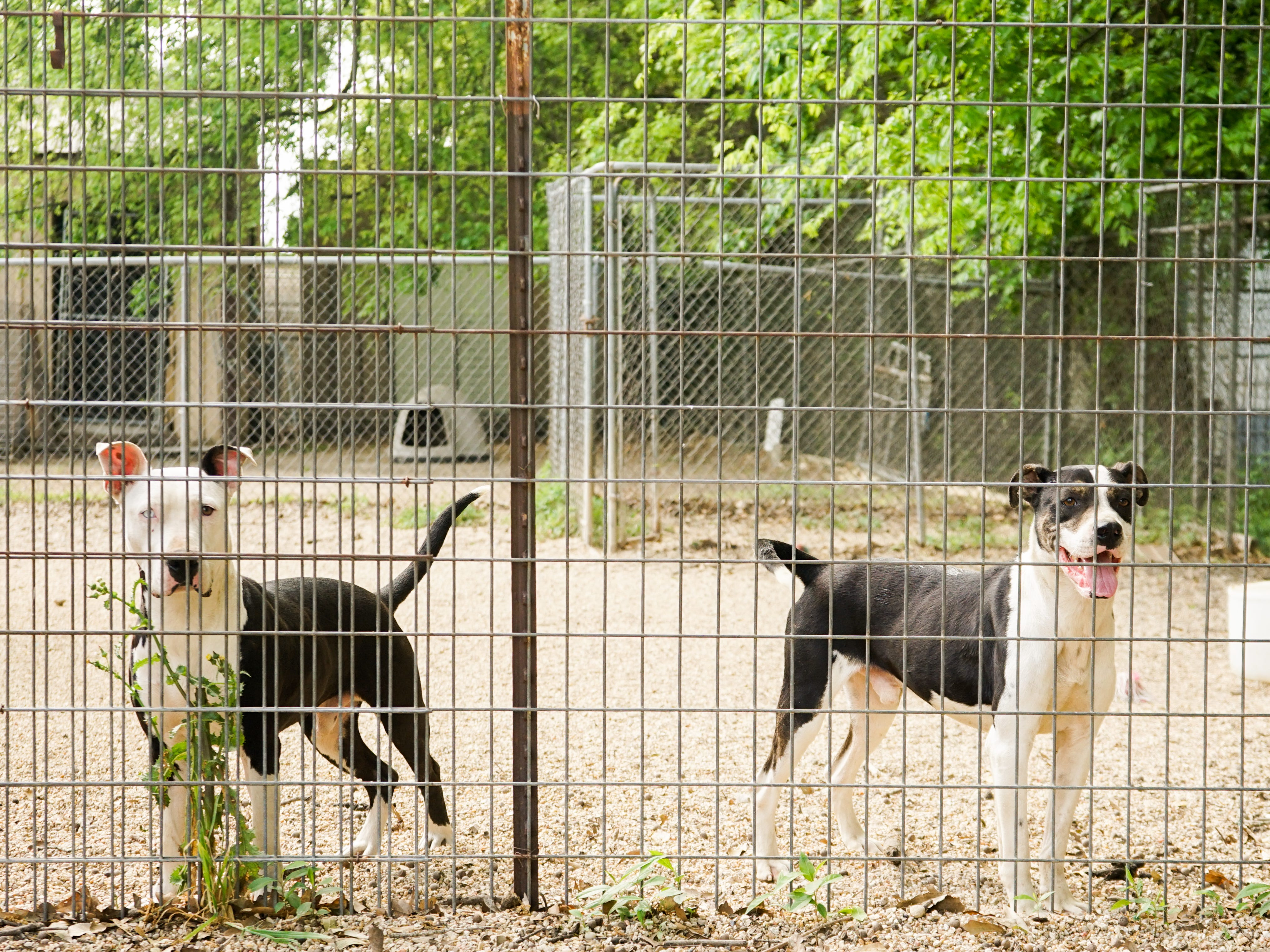 Dogs and cats await their fate at the Lafayette Parish Animal Shelter. Animals from the parish and across Acadiana have been transported in recent years to the northern and western part of the U.S. for adoption, where demand for adoptable pets has helped to curtail euthanasia rates locally.