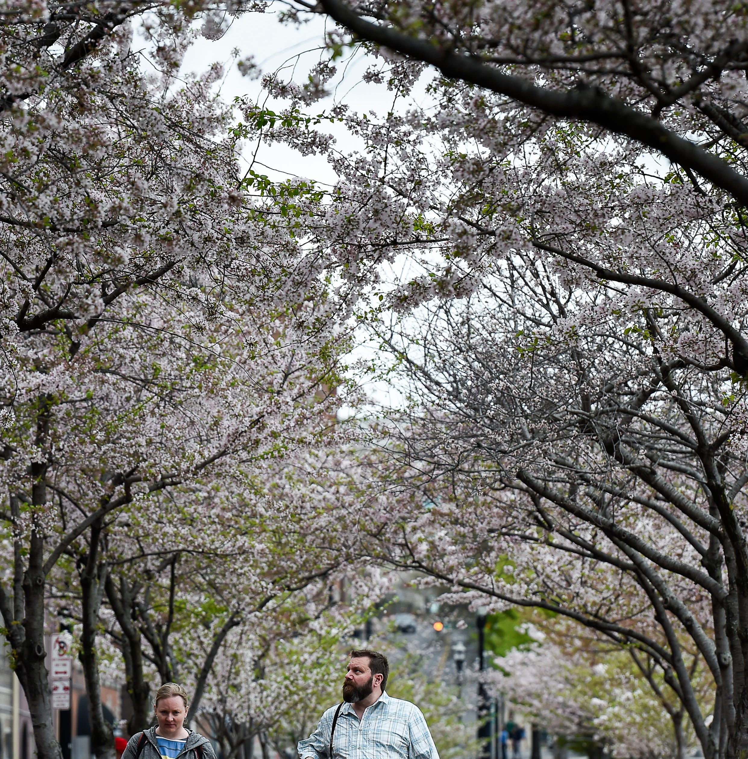 Nashville's plan to cut down cherry trees for NFL draft met with outrage online
