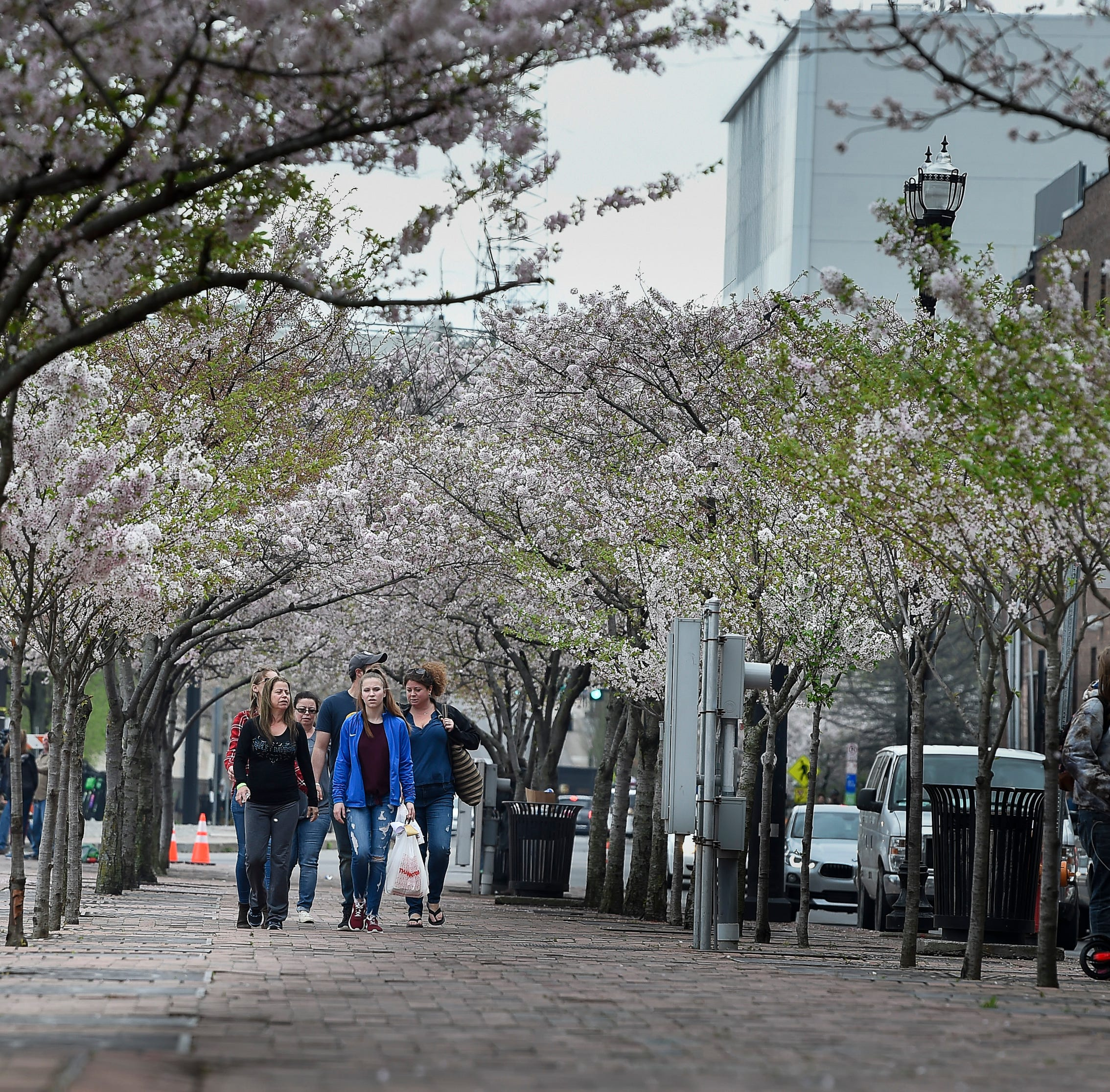 Nashville to cut down cherry trees to make way for NFL draft stage