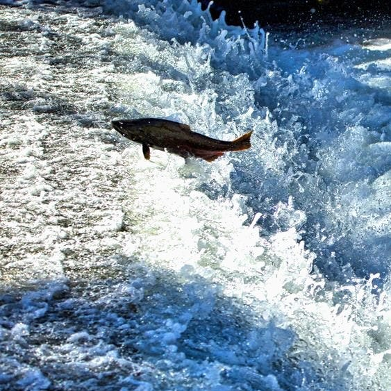 Error results in deaths of 390,000 hatchery-raised California salmon