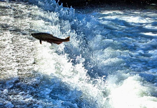 A late-fall chinook salmon returning to Coleman National Fish Hatchery.