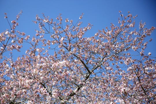 Cherry Blossom Festival at the Oregon State Capitol: Celebrate Spring under 151 Akebono cherry trees in the Capitol Mall with music, performances, a Japanese tea ceremony, taiko drums andcherry industry sampling.