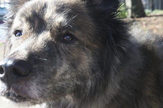 Dogs like Mookie, a German Shepherd and Husky mix, are being dropped at the pound after their owners realize they are not prepared to train the high-energy dogs. March 30, 2019.