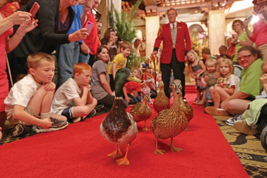 The march of the ducks at the Peabody Hotel is a famous free family attraction. It's hard for to adults to see, but kids get a front row seat on the floor.   More: The Peabody is probably best known around the world for a custom dating back to the 1930s. The General Manager of the time, Frank Schutt, had just returned from a weekend hunting trip in Arkansas. He and his friends found it amusing to leave their live decoy ducks in the hotel fountain. The guests loved the idea, and since then, ducks have played in the fountain every day.