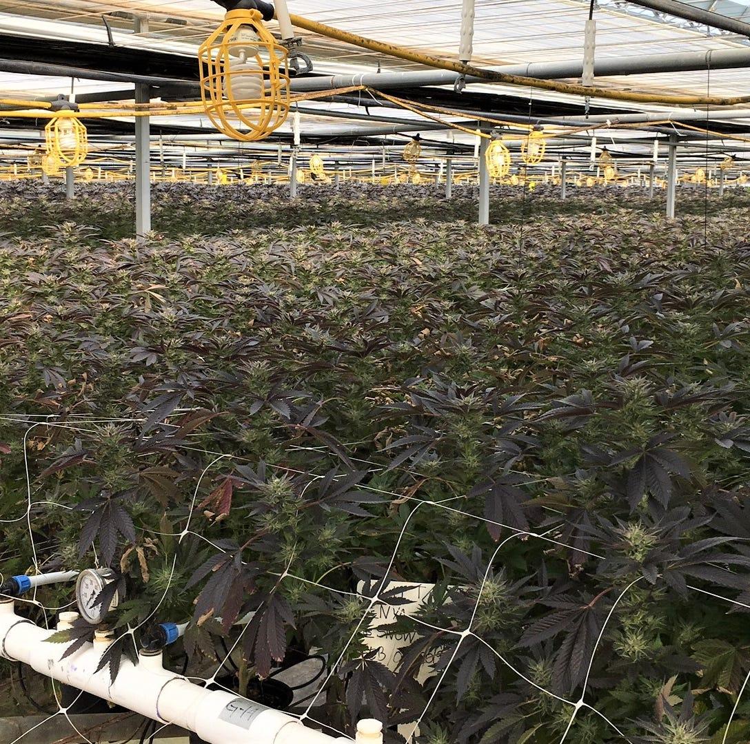 Santa Barbara County has huge marijuana bust