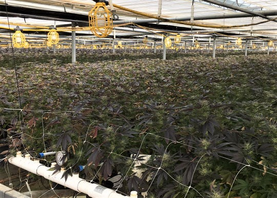 The Los Alamos growing operation is described as the largest investigated by the Santa Barbara County Sheriff's Office cannabis team since it was formed in June.