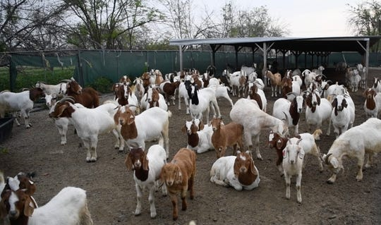 In the mornings, the goats gather in a pen before going to work every day eating brush that can fuel wildfires.