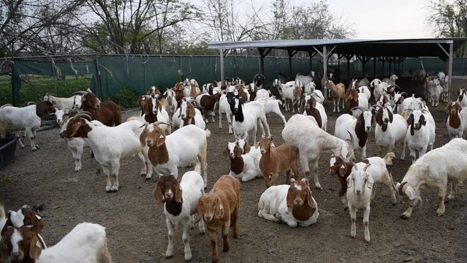 Florida school district pays goats to solve maintenance woes