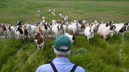 George Gonzales looks over his herd of goats in Chino, Calif. He has a service in which goats eat the brush that fuels wildfires.