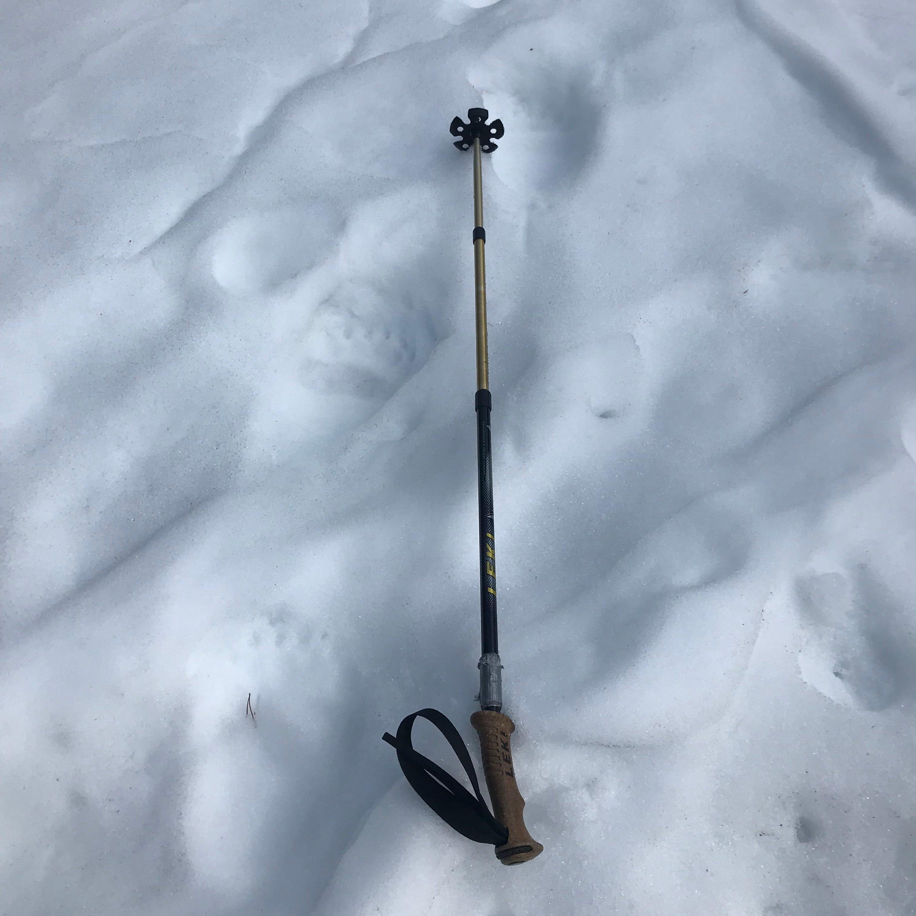 Recent bear tracks on Bowman Road in Glacier National park.