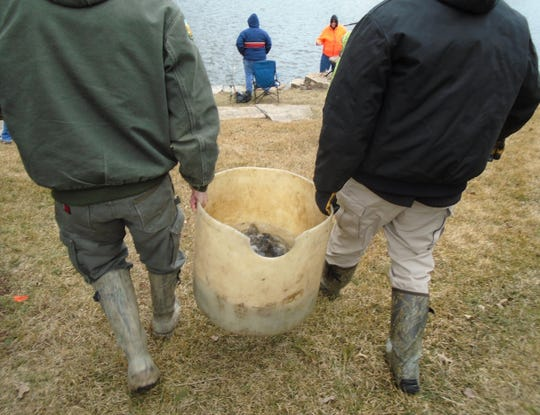 Buckets of trout were hauled to the shoreline at varies spots around Liberty Centre pond Saturday morning for the first-ever trout fishing event here.