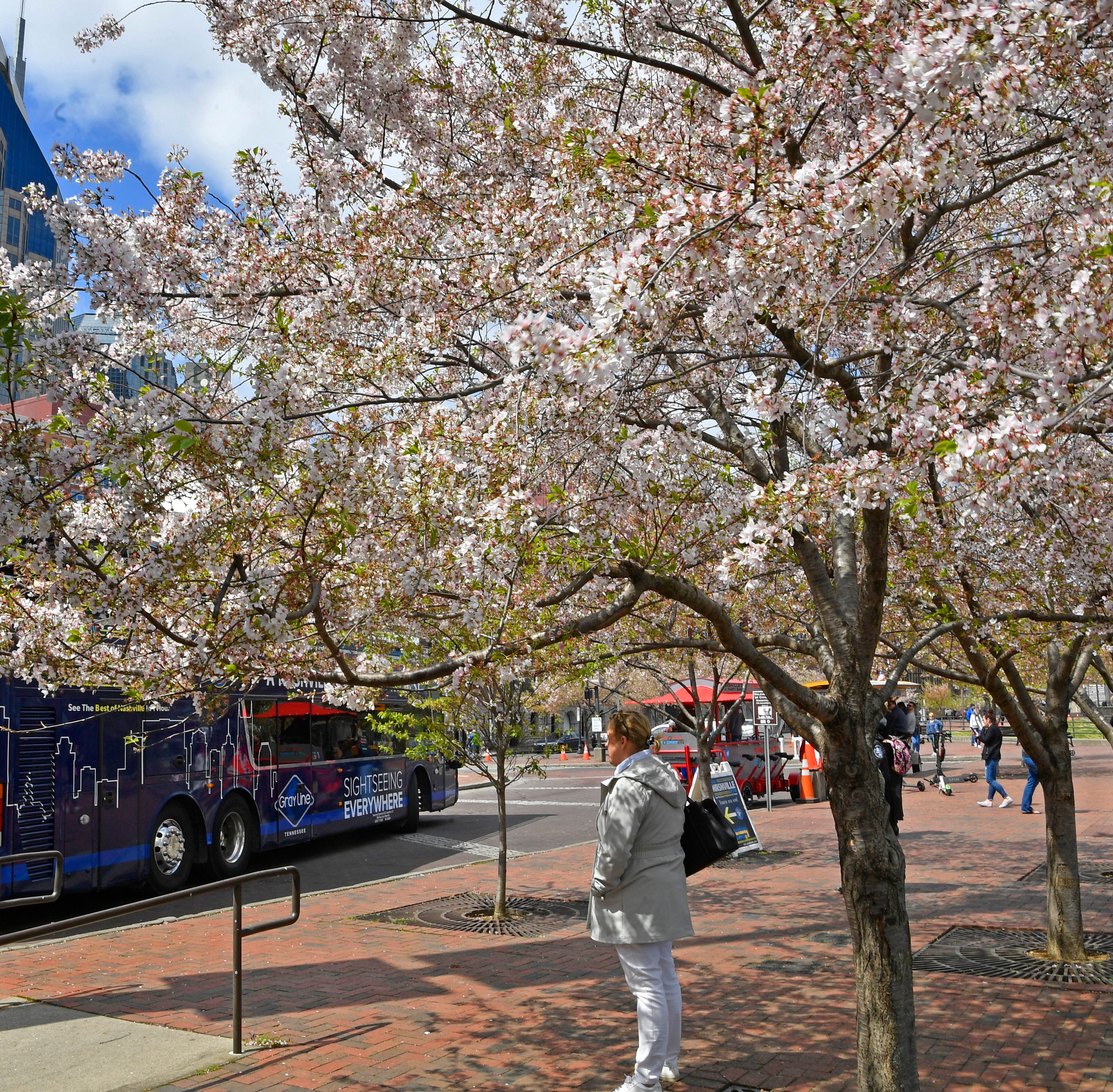 Cherry tree outcry inspires relocation plan, apology from Nashville's local NFL Draft organizers