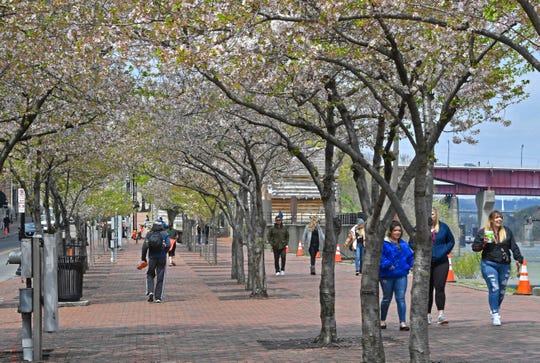The cherry trees along First Ave are not going to be moved but ten cherry trees around the circle drive at Riverfront Park will be moved to accommodate the stage for the NFL Draft Sunday, March 31, 2019, in Nashville, Tenn.