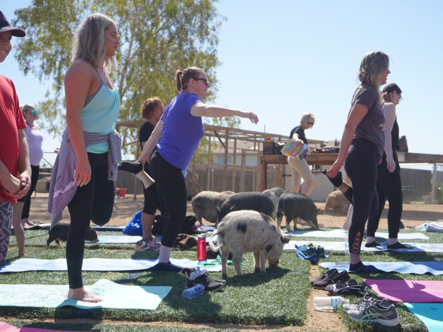 """Rescue pigs — big and small — interact with """"Pig Yoga"""" participants at the Better Piggies Rescue pig sanctuary in northern Phoenix on March 31, 2019."""