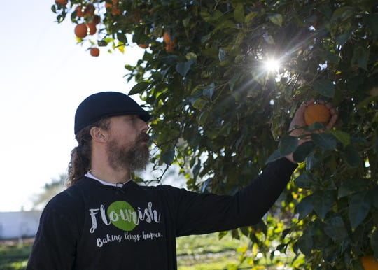 Cannabis cuisine chef Payton Curry picks oranges to make cannabis-infused marmalade from Curt Granstrom's Farmacopeia, an organic farm in Phoenix, Ariz. on Feb. 26, 2019. Granstrom provides a lot of the vegetable matter Curry uses in products from his cannabis cuisine company Flourish.