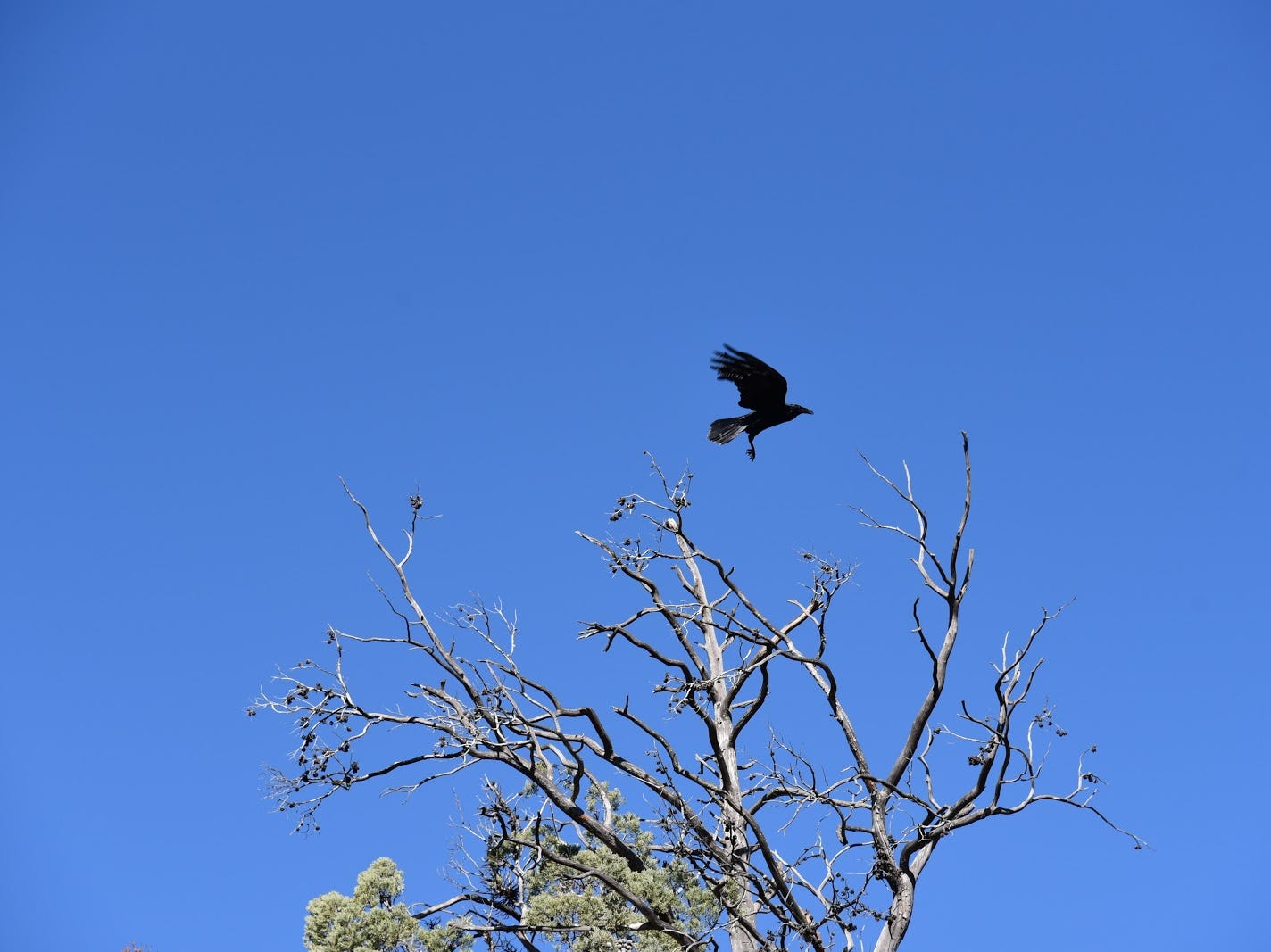 A raven takes flight above the Easy Breezy Trail
