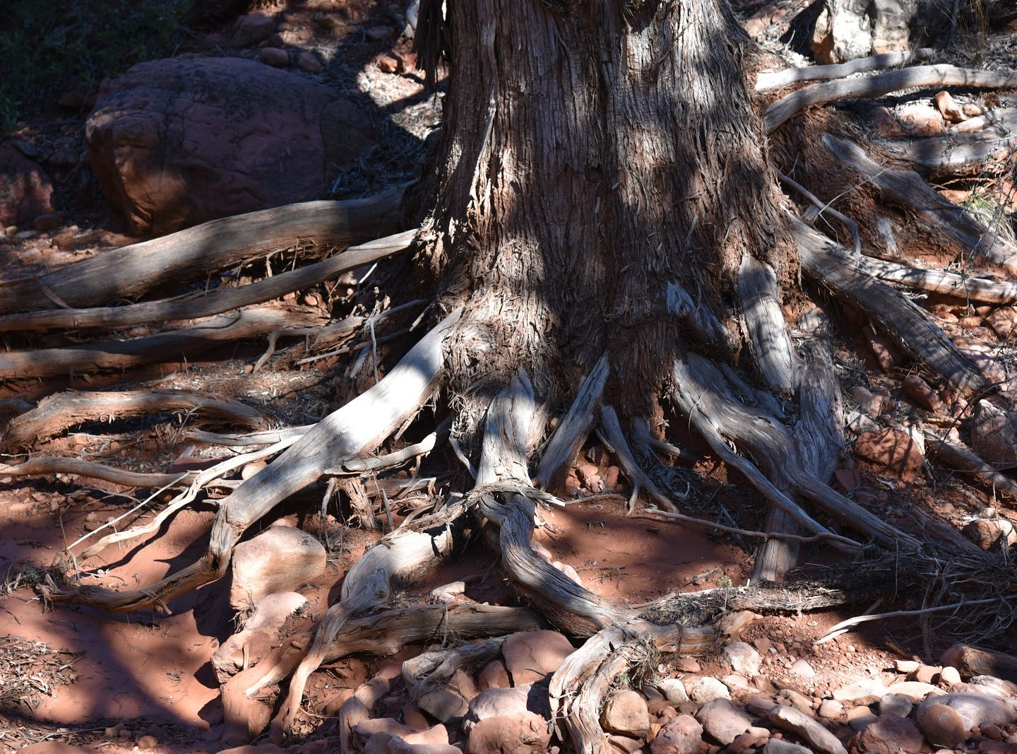 Artful exposed roots along the Easy Breezy Trail.