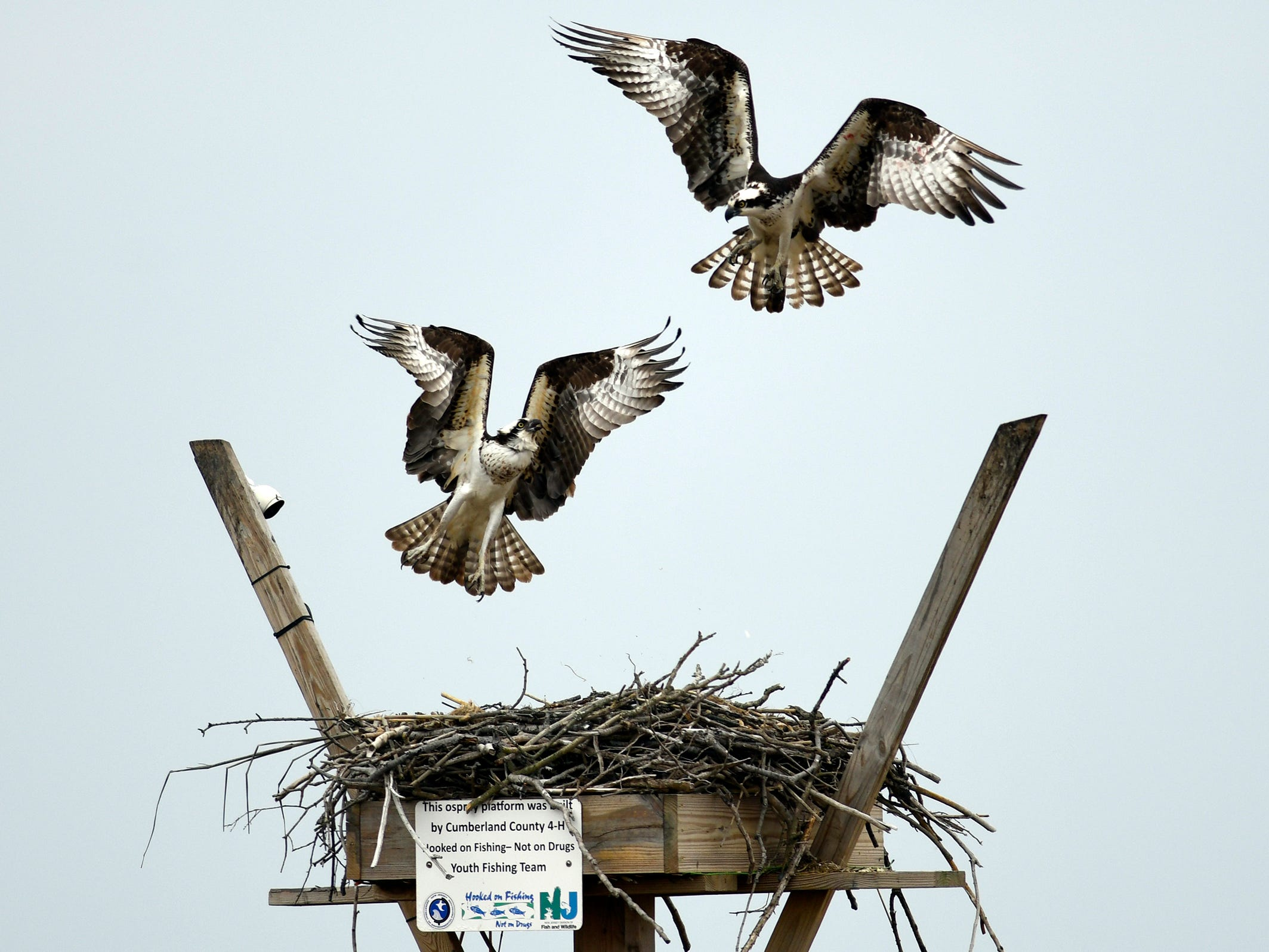 A nesting pair of osprey at the East Point Lighthouse in Heislerville.