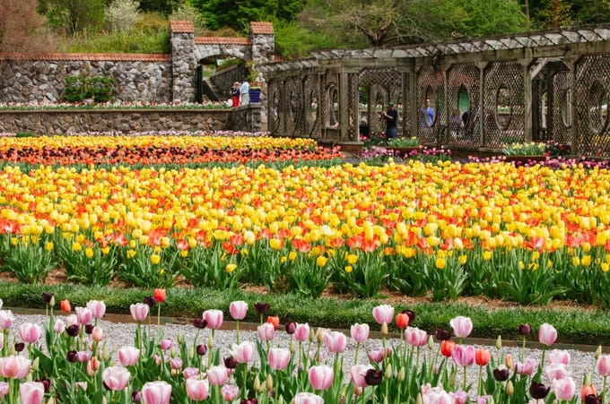 About 80,000 bulbs were planted in the fall of 2018 to bloom throughout this spring on Biltmore Estate.