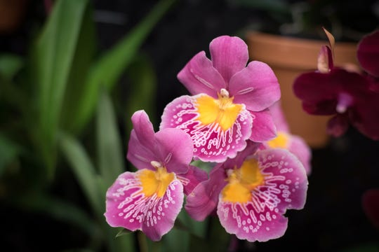 World-class orchid growers and breeders, along with regional orchid societies will exhibit hundreds of orchids at the 21st annual Asheville Orchid Festival this weekend.