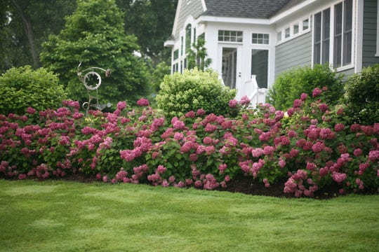 Invincibelle Mini Mauvette is a dwarf hybrid of the North American native smooth hydrangea. It grows to about 3 feet tall and wide, blooming from midsummer through frost in a sunny spot.