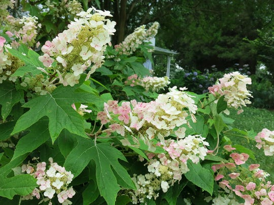 Oakleaf hydrangeas are known for their magnificent leaves and large panicle-shaped flowers. The flowers open creamy white and fade to a deep blush. In late fall, the leaves turn red before they fall off the plant, revealing stems with peeling bark.