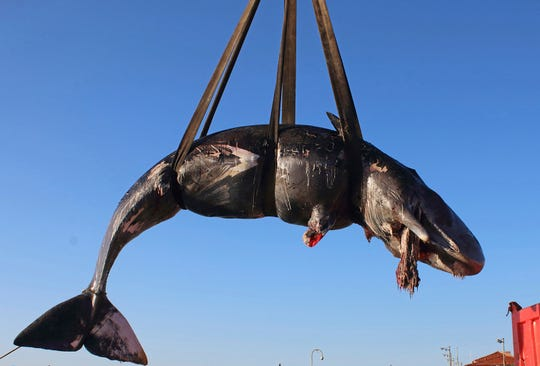 In this photo taken on Friday, March 29, 2019 and provided by SEAME Sardinia Onlus, a whale is lifted up onto a truck after being recovered off Sardinia island, Italy. The World Wildlife Foundation is sounding the alarm over plastics in the Mediterranean Sea after an 8-meter-long sperm whale was found dead off Sardinia with 48.5 pounds of plastic found in its belly. The environmental organization said Monday that the garbage recovered in the sperm whale's stomach included a corrugated tube for electrical works, plastic plates, shopping bags, tangled fishing lines and a washing detergent package with the brand and bar code still legible. The female whale beached off the northern coast of Sardinia last week.