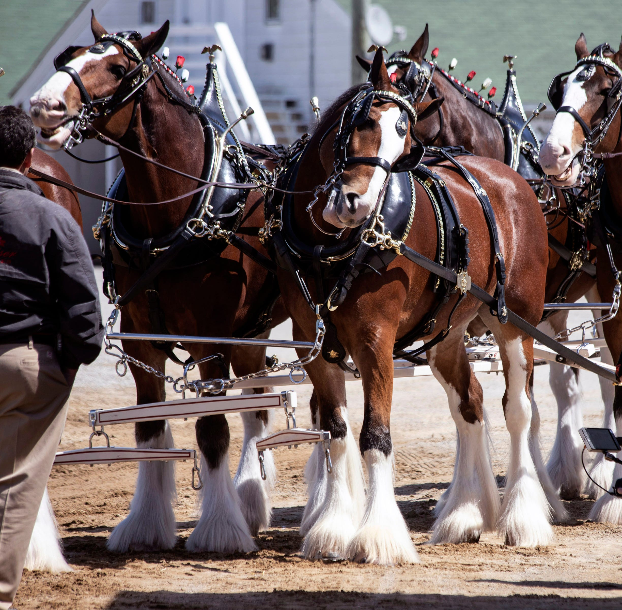 Down the stretch at Churchill Downs comes ... the Budweiser Clydesdales?!?