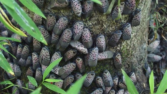 A swarm of adult spotted lanternflies are pictured feeding on a tree in Pennsylvania.