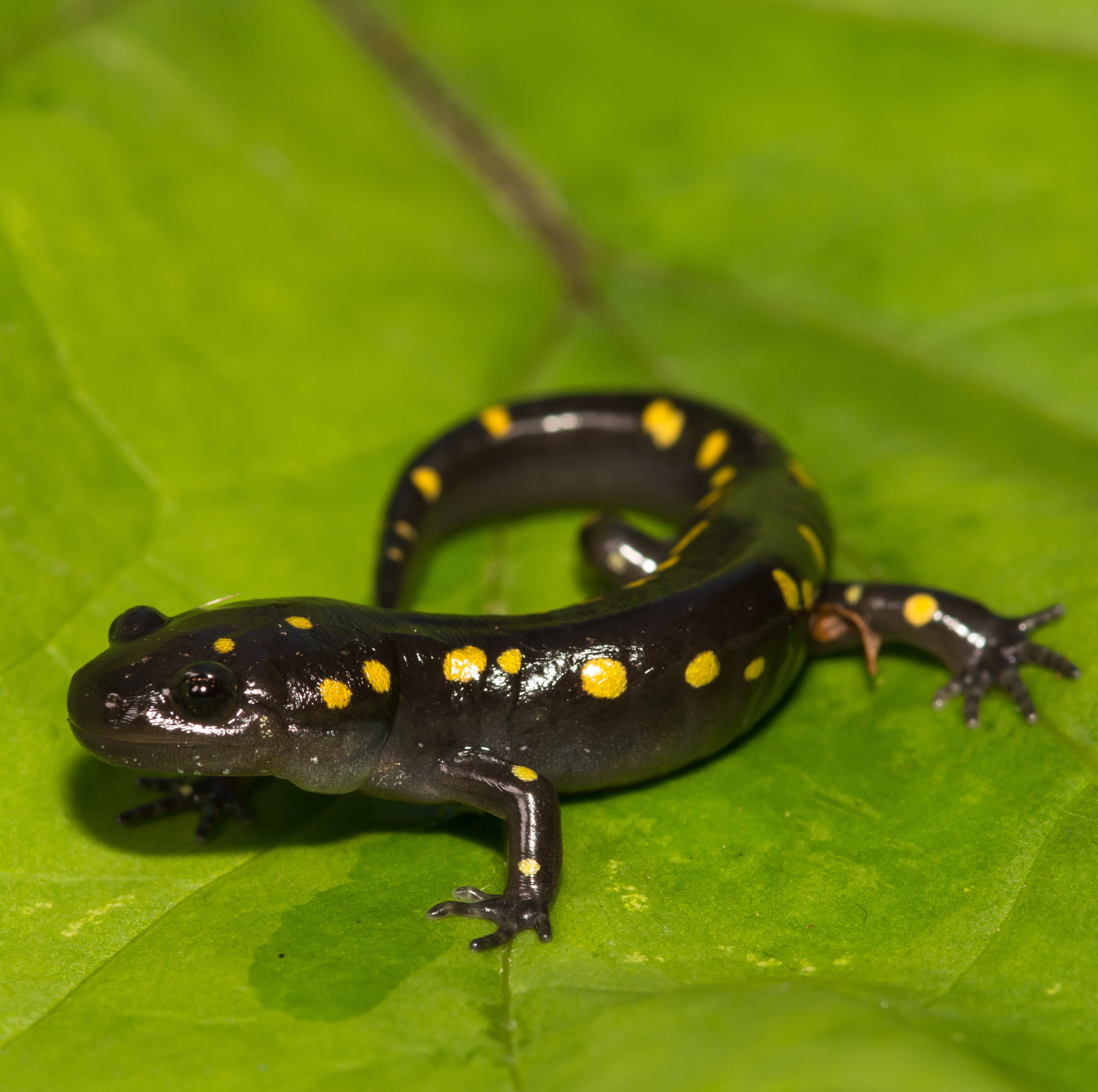 Spring is the best time to see shy salamanders