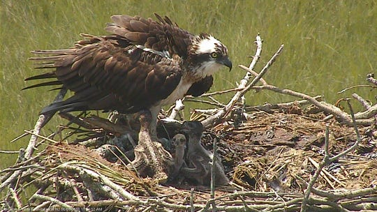 The osprey cam at the Forsythe National Wildlife Refuge is solar-powered.