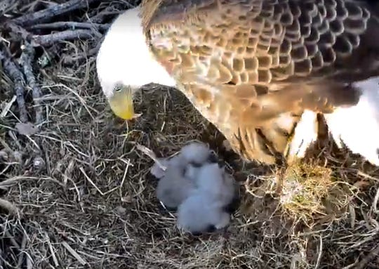 Viewers of the Duke Farms nest cam could watch as two eaglets hatched in the past week.