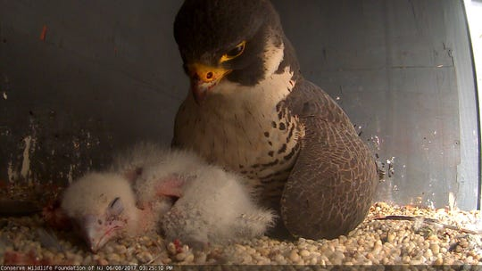 Peregrine falcons have nested atop a Jersey City high-rise since 2000.