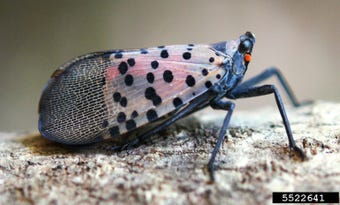 If the spotted lanternfly spreads unchecked, it could cause severe damage to crops. The NJ Department of Agriculture wants to make sure that doesn't happen.