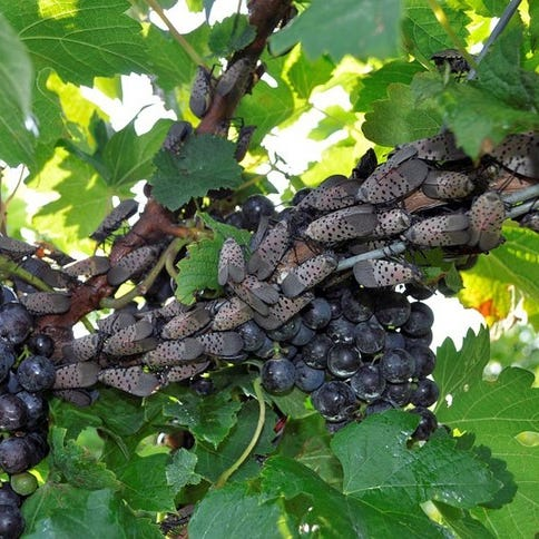 Can fungi stop the spotted lanternfly threatening the Finger Lakes' wine industry?