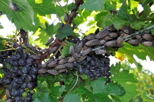 Spotted lanternflies on a grape vine