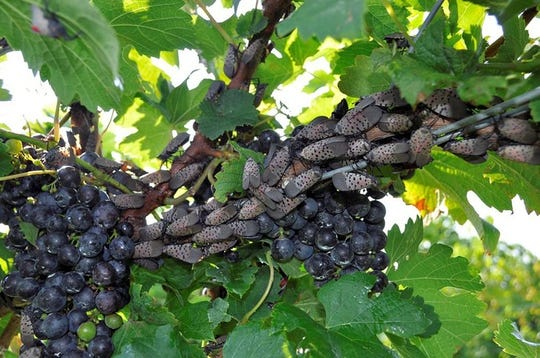 Spotted lanternflies on a grape vine