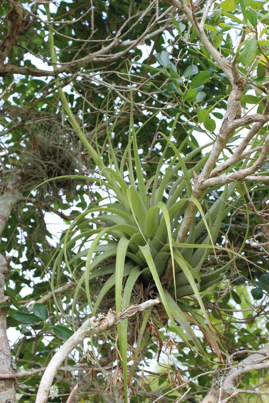 The giant airplant is a Florida native and is part of the natural landscape. Florida gardeners use such bromeliads in the landscape for their distinct form and pretty colors.