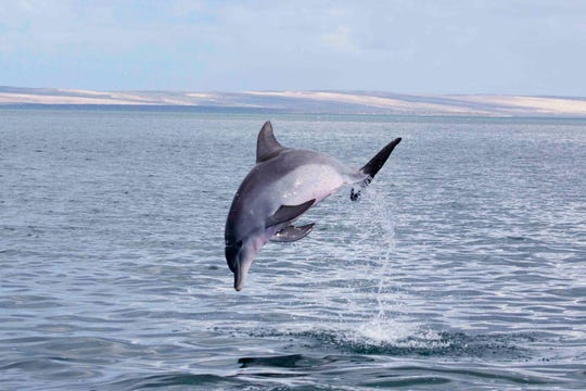 A dolphin leaps out of the water in Shark Bay, Australia.