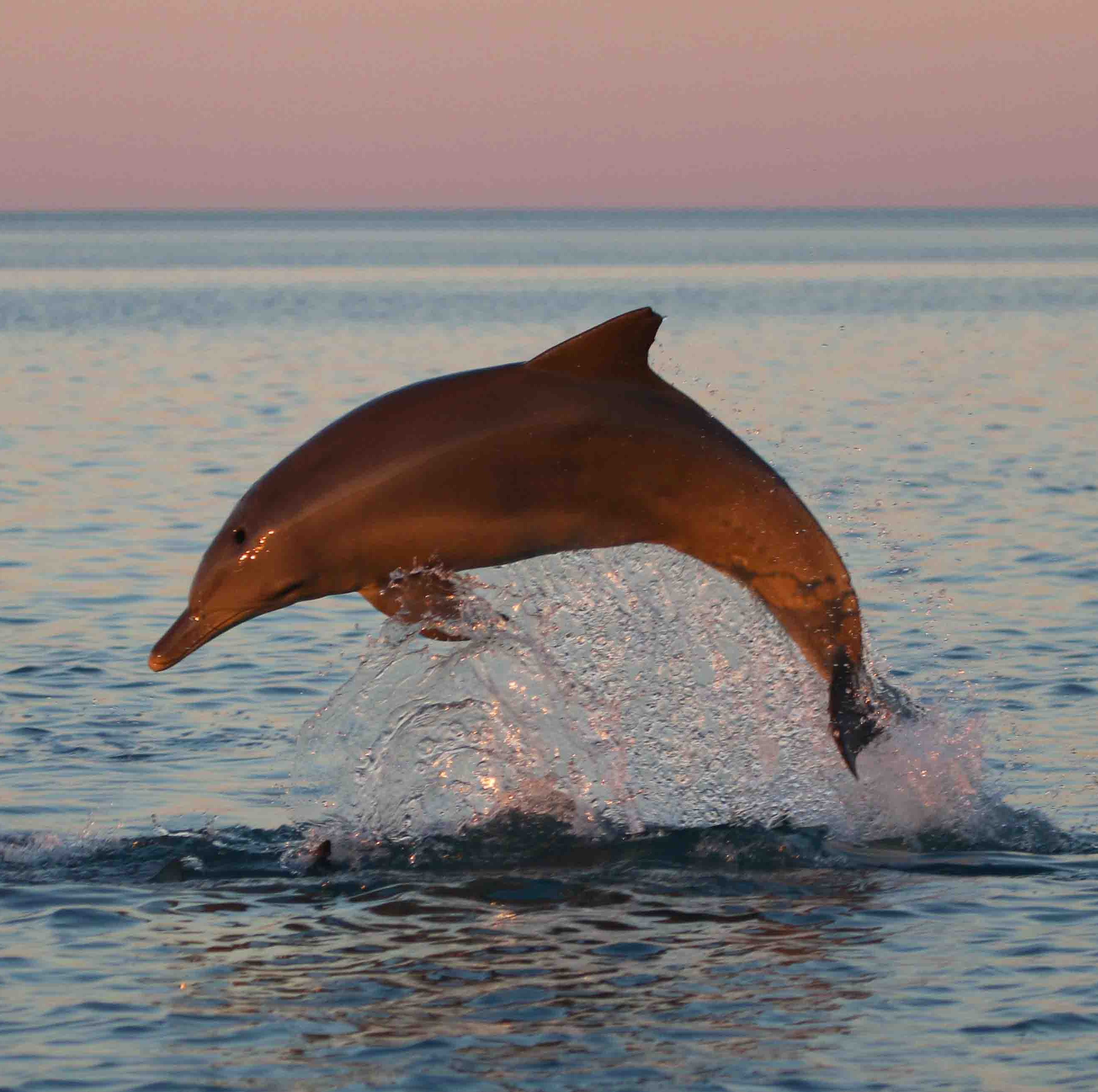Warming seas are devastating to survival of dolphins