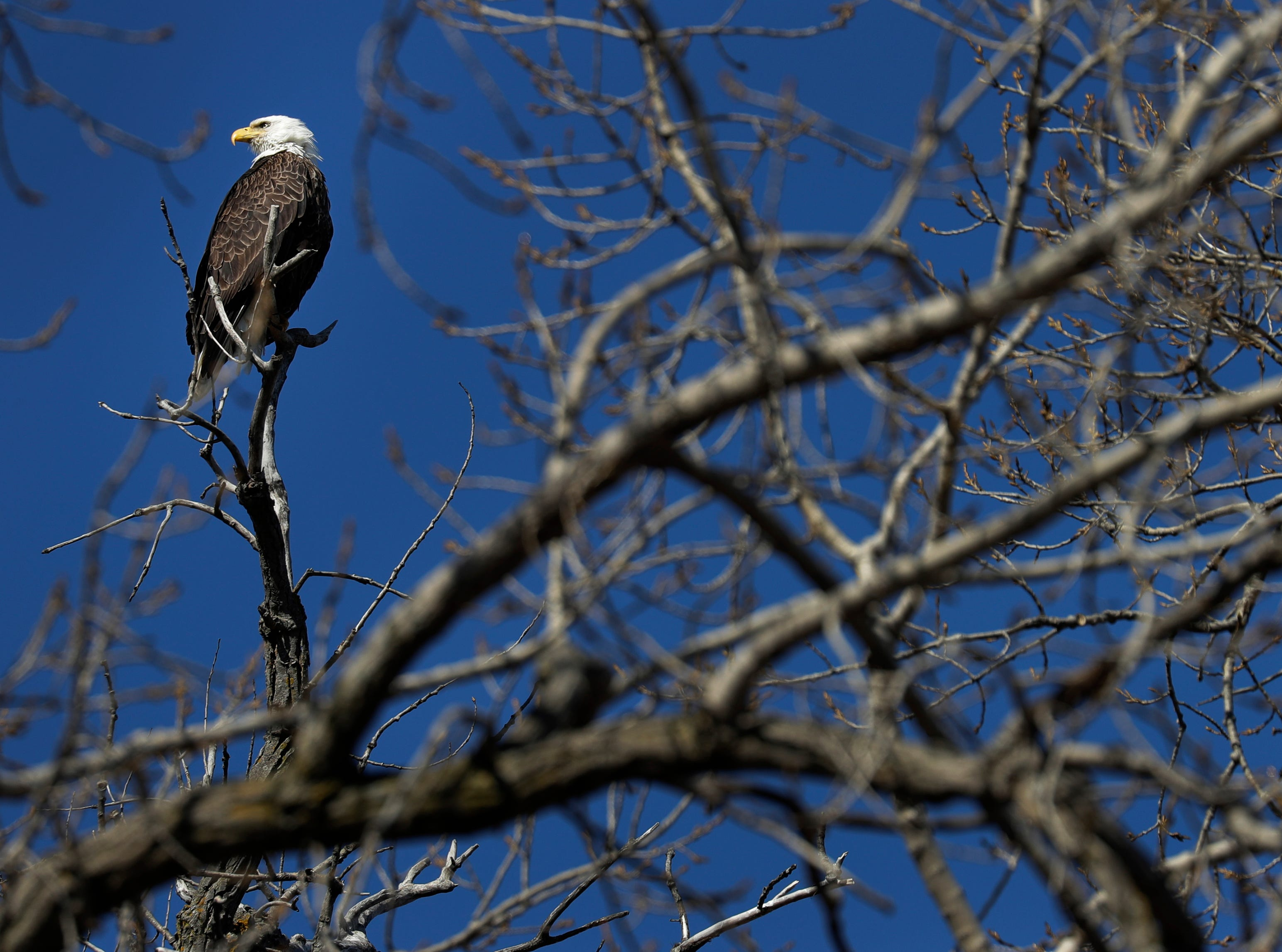 A bald eagle is perched along Bayview Road Monday, March 25, 2019, in Neenah, Wis. Dan Powers/USA TODAY NETWORK-Wisconsin